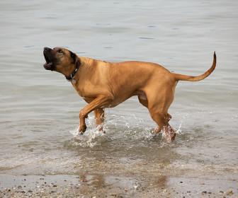 comment faire aboyer un chien