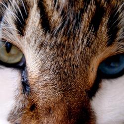 comment laver les yeux d un chat