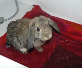 comment laver un lapin