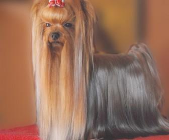 comment coiffer un yorkshire