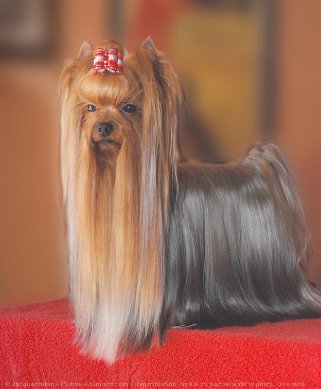 Comment coiffer un yorkshire - Modele de coupe pour yorkshire terrier ...
